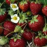 Mara des Bois Strawberries
